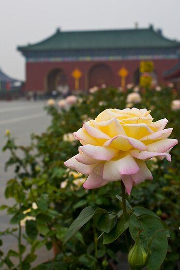 Chinese Rose by Karen Millard