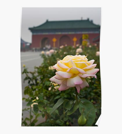 Chinese Rose Poster