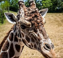 Giraffe Close Up by eegibson