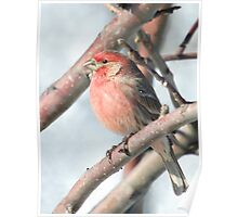 House Finch in a Tree Poster