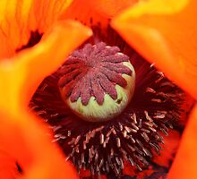 Oriental Poppy Flower Close Up  by Mike HobsoN