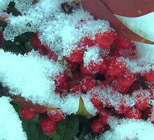 red  berries in snow by ANNABEL   S. ALENTON
