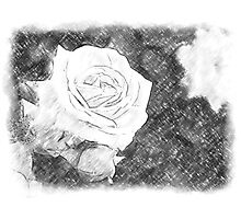 Pink Roses in Anzures 1 Charcoal Photographic Print