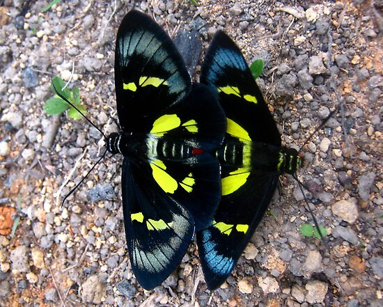 Mating Regent Skippers by Vanessa Barklay