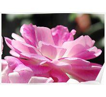 Sun Baking Pink Petals Poster