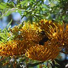 Silk Oak (Grevillea Robusta) : Lots of Grevilleas by Lozzar Flowers & Art