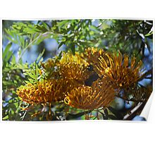 Silk Oak (Grevillea Robusta) : Lots of Grevilleas Poster