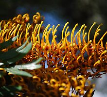 Silk Oak (Grevillea Robusta): Basking in the sun. by Lozzar Flowers & Art