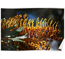 Silk Oak (Grevillea Robusta): Basking in the sun. Poster
