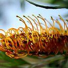 Silk Oak (Grevillea Robusta) : Single Flower by Lozzar Flowers & Art