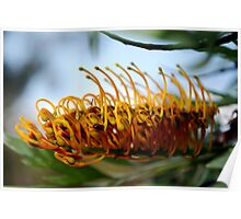 Silk Oak (Grevillea Robusta) : Single Flower Poster