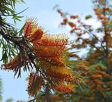 Silk Oak (Grevillea Robusta) : The Tree by Lozzar Flowers & Art