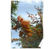 Silk Oak (Grevillea Robusta) : The Tree Poster