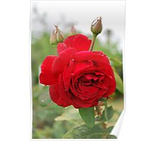 Red rose of gentle delight. Poster