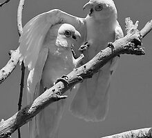 Courting Corellas by Bill  Robinson