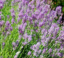 Lavender Plants Forever by The Accidental Farmers