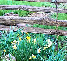 Split Rails and Daffodils by BettyEDuncan