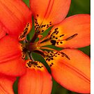 Rest on the petal of a Lily by AudraJS