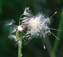 Dandylion seeds by wolf6249107