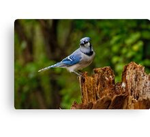 Blue Jay on Stump - Ottawa, Ontario Canvas Print