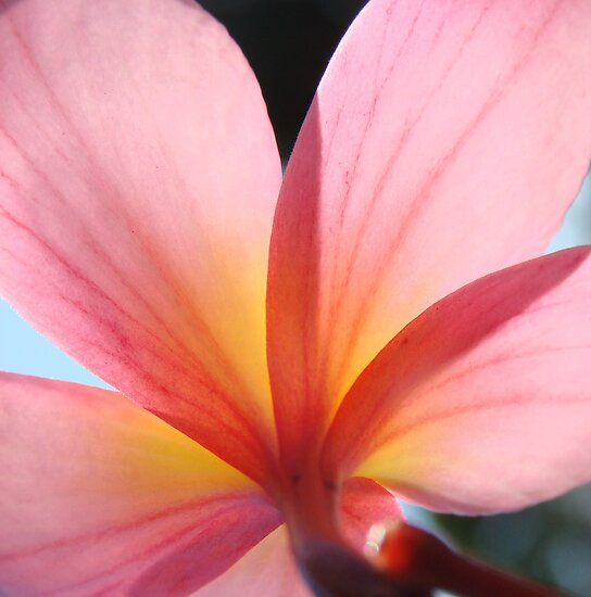 Pink Frangipani Beauty-(Macro) by Martice