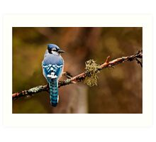 Blue Jay On Branch Art Print