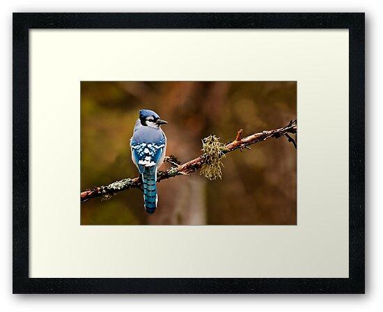 Blue Jay On Branch by Michael Cummings