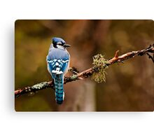 Blue Jay On Branch Canvas Print
