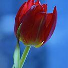 Red & Blue tulip by Lindie Allen