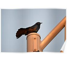 Turdus Merula - Common Blackbird | Hampton Bays, New York  Poster