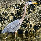 Blue Heron?  for Marvin! by Memaa