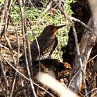 Northern Flicker (Red-shafted) ~ Male by Kimberly P-Chadwick