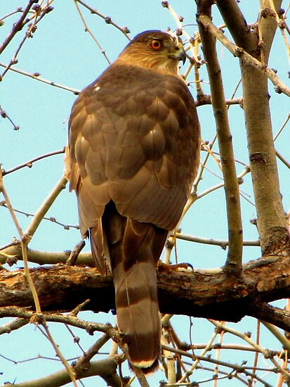 Coopers Hawk ~ Accipiter by Kimberly Chadwick