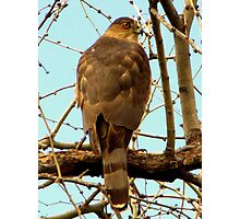 Coopers Hawk ~ Accipiter Photographic Print