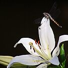 Sitting Pretty on a Lily by Bonnie Robert