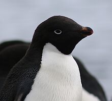 Adelie Penguin Antarctica 1 by Janai-Ami