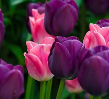 Caravelle and Dynasty Tulips by RavenFalls