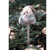 Ink Cap Fungi. Photographic Print