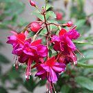 Flowering Fuschia  by heatherfriedman