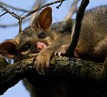 Brush Tail Possum by Jeremy Weiss