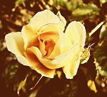 Faded Rose by newbeltane