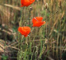 Three Poppies by newbeltane