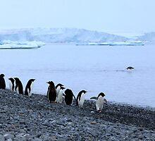 Adelie Penguins Antarctica 7 by Janai-Ami