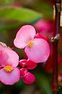 Begonia by Renee Hubbard Fine Art Photography