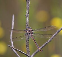 Giant Dragonfly by ChrisCoombes