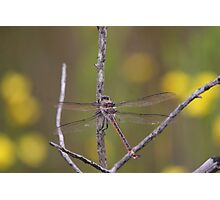 Giant Dragonfly Photographic Print