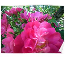 Bright Pink Magenta Purple Rose Blossoms Poster
