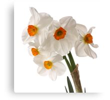 Narcissus on white Canvas Print