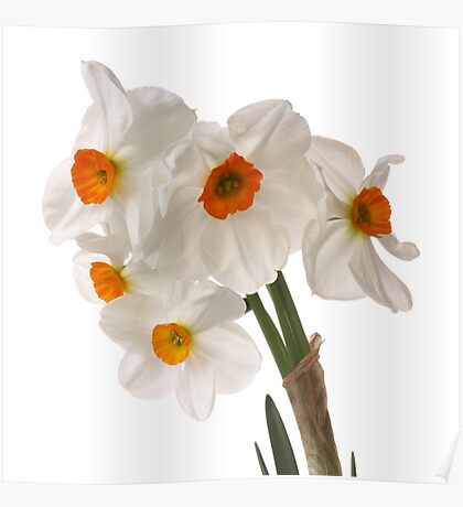 Narcissus on white Poster