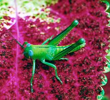 Bright Green Grasshopper on Red Coleus. by Mywildscapepics